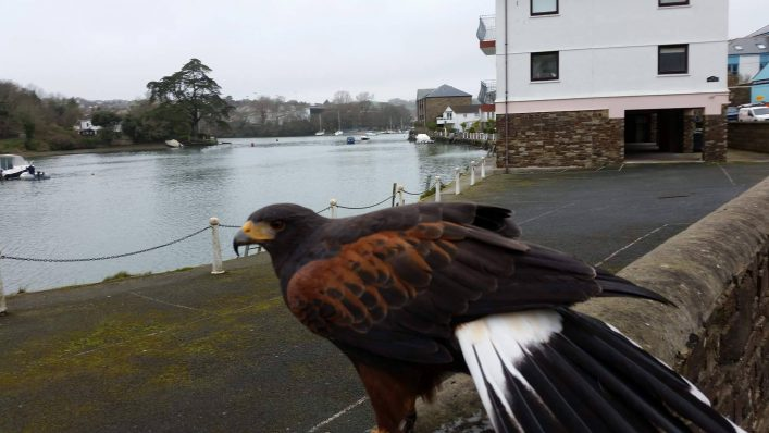 hawks used as a deterrent to move nuisance birds on
