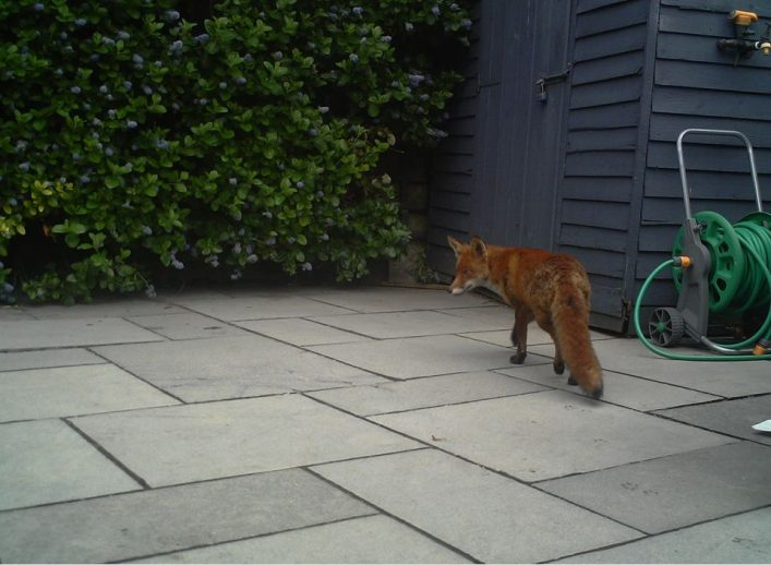 fox control devon and cornwall