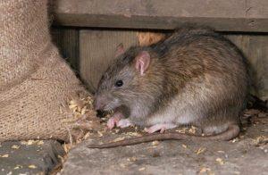 Plymouth rats
