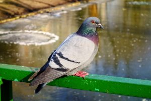 Pigeon droppings can spread diseases