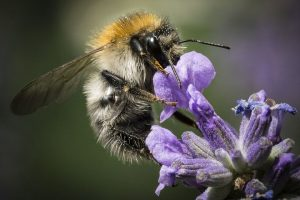 protecting Plymouth bees