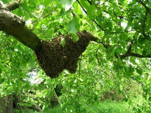 Plymouth bee swarm