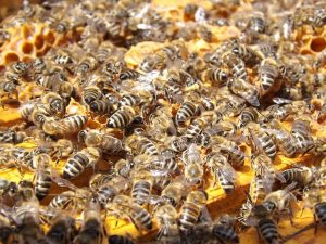 plymouth bees