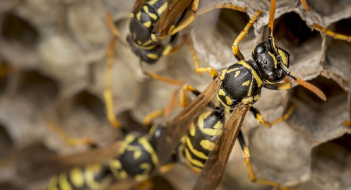 wasp nest removal Plymouth