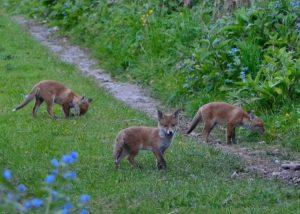 fox prevention devon and cornwall