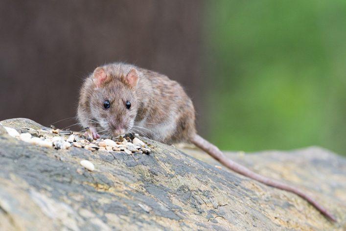 rats plymouth