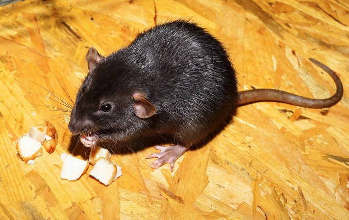how rats get into your Plymouth home