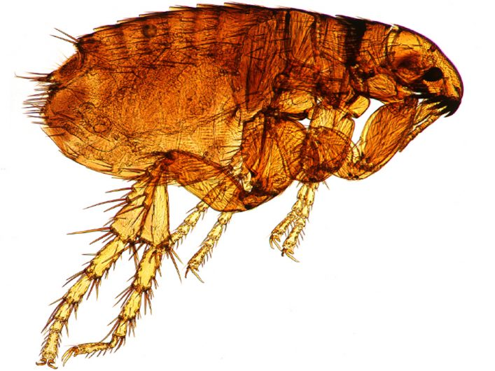 plymouth fleas