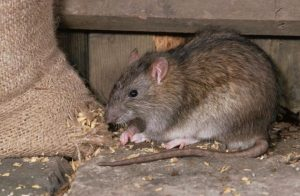 Plymouth rats are prolific and you don't want them in your home