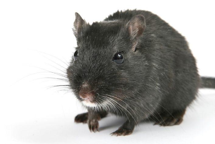 rat facts