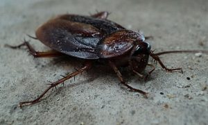 plymouth cockroach