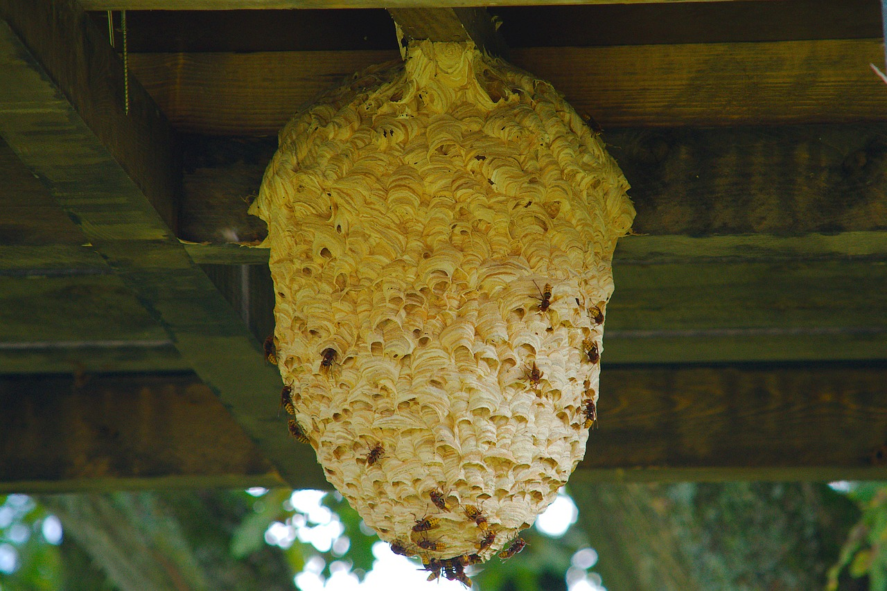 Plymouth wasp nest