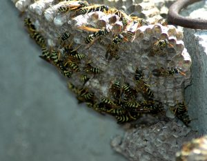plymouth wasp nest removal