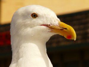 Plymouth bird control