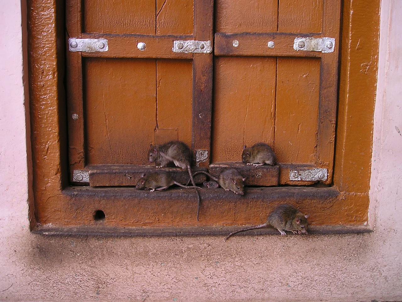 plymouth and cornwall rats