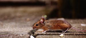plymouth rats and mice