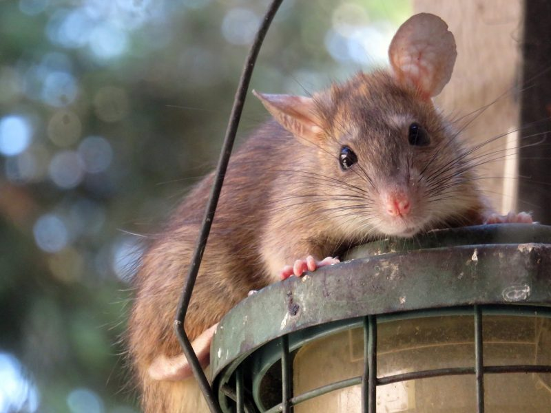 how to get rid of Plymouth rats