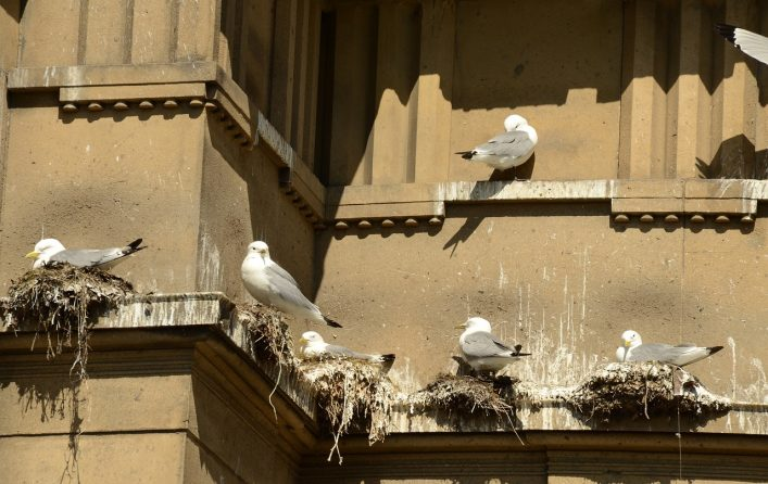 Plymouth seagulls nesting