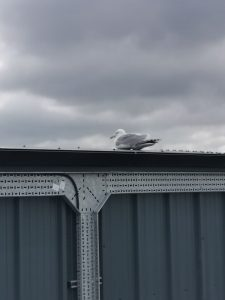 plymouth seagull nesting