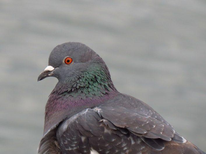 torquay bird control