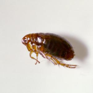 fleas Plymouth