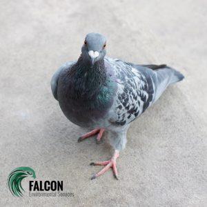 pigeon deterrent