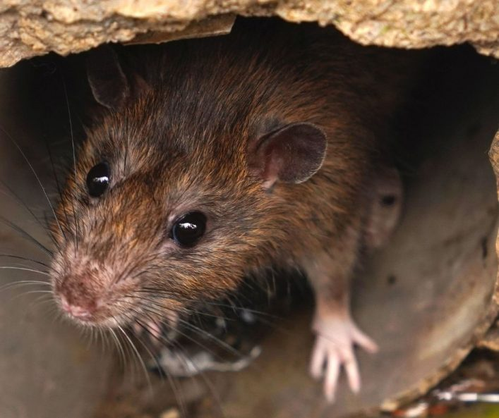 Plymouth rodent proofing